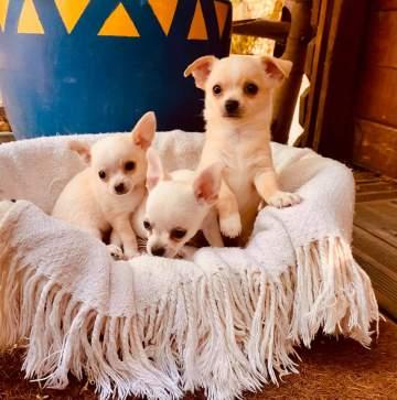 Elevage de Chihuahua à Orgueil