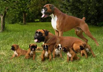 Élevage chiens