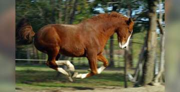 Entraînement chevaux